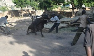 T. coaxes the bull down for the slaughter